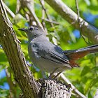 Gray Catbird in Tree by Mark Fendrick