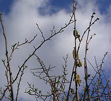 Pussy Willow against a Spring Sky by lezvee