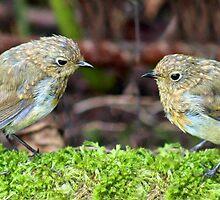 Fledgling robins by missmoneypenny
