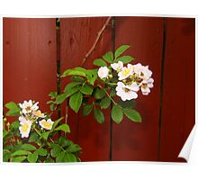 Roses Through The Fence Poster
