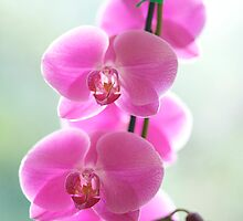 Pink Orchids by printscapes