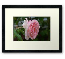 lovely pink rose Framed Print