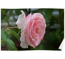 lovely pink rose Poster