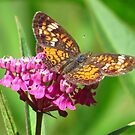 Butterfly on Milkweed by lorilee