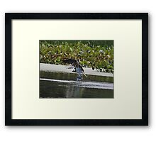 Osprey's Successful Fishing Trip Framed Print