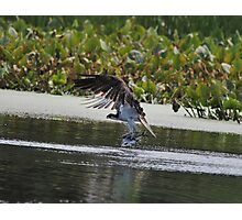 Osprey's Successful Fishing Trip Photographic Print