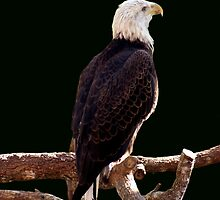 BALD EAGLE by TomBaumker