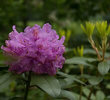 Bright Pink Azalea, Gently Swaying in the Rain  by Georgia Mizuleva