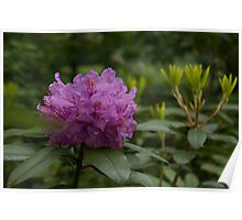 Bright Pink Azalea, Gently Swaying in the Rain  Poster