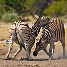 Zebras fighting by Konstantinos Arvanitopoulos