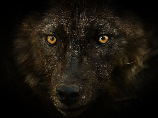 Midnights Gaze - Black Wolf Wild Animal Wildlife by NaturePrints