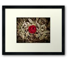 Autumn red rose, vintage Framed Print