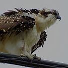 The Overseer Osprey Wild Bird Raptor by Val  Brackenridge