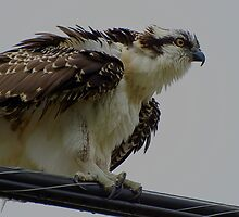 The Overseer Osprey Wild Bird Raptor by Val  Brackenridge