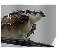The Overseer Osprey Wild Bird Raptor Poster