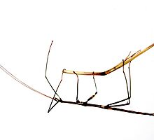 Walking Stick Insect by Laurie Minor