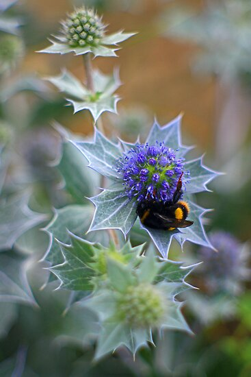Sea Holly - Sheltering Bee. by rennaisance