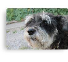 Chico the schnauzer  mini Canvas Print