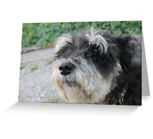 Chico the schnauzer  mini Greeting Card