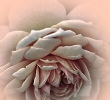 My Rose Of Tralee .... by Sharon House
