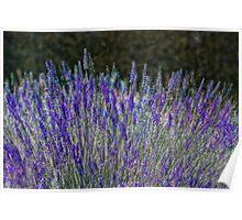 Lavender Array Poster