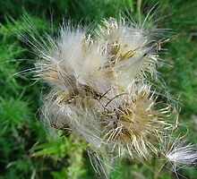 Thistledown by Tom Curtis