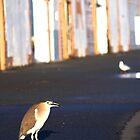 Nankeen Night Heron by Sarah Guiton