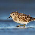 Least Sandpiper (juvenile) by Daniel Cadieux