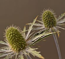 Blue Thistle by Andy49