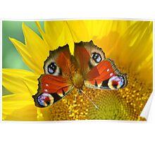 Peacock on Sunflower Poster