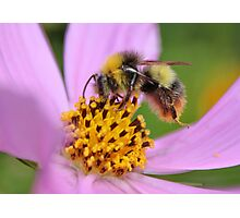 Bumble Bee on Cosmos Photographic Print