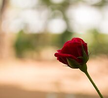 A beautiful Rose by gouthamlal
