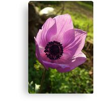 One Delicate Purple Anemone Coronaria Flower Canvas Print
