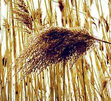 Reeds by SRowe Art