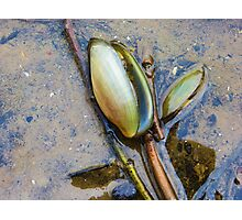 Freshwater Mussels Photographic Print