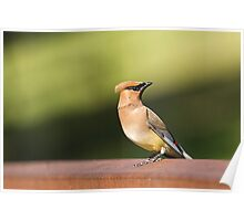 Waxwing at the Park Poster