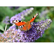 Peacock Butterfly with wings spread while sitting on Buddlej Photographic Print