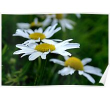 English Daisies on a field of green Poster