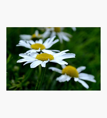English Daisies on a field of green Photographic Print