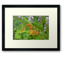 Crocosmia (Montbretia) waiting to flower on a warm summer da Framed Print