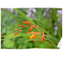 Crocosmia (Montbretia) waiting to flower on a warm summer da Poster
