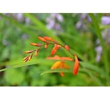 Crocosmia (Montbretia) waiting to flower on a warm summer da Photographic Print