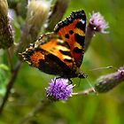 Tortoise Shell Butterfly photographed in an English Nature Reserve by Scott Lyons