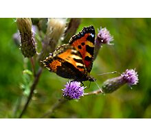 Tortoise Shell Butterfly photographed in an English Nature Reserve Photographic Print