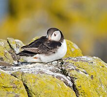 Resting Puffin by M.S. Photography & Art
