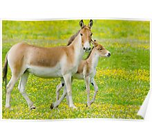 Kiang and foal Poster