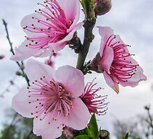 Nectarine Blossom by DPalmer
