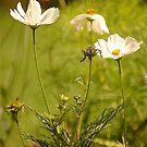 Garden Cosmea, East Devon by Mike  Waldron
