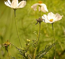 Garden Cosmea, East Devon by Mike  Waldron