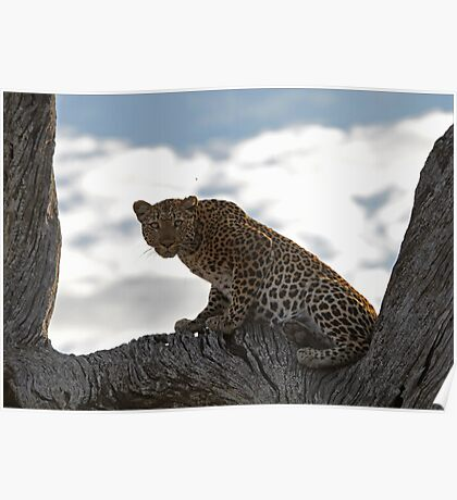 Alert Leopard Poster